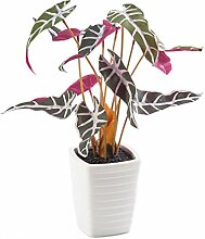 Künstliches Caladium im Keramiktopf, grün-rot, 35 cm - kleine Kunstpflanze / Deko Pflanze - artplants