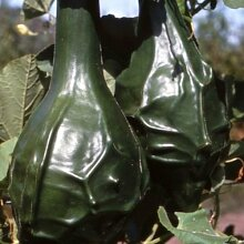 Kürbis Caveman Gemüsesamen (Lagenaria siceraria)