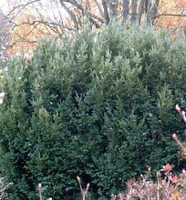Kugel Eibe Anne 15-20cm - Taxus baccata