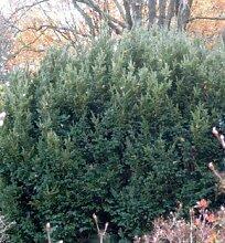 Kugel Eibe Anne 20-25cm - Taxus baccata