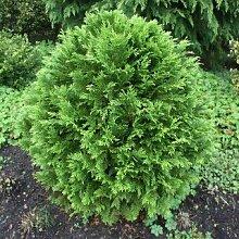Kugel Lebensbaum 'Danica' - Thuja occidentalis 'Danica' - Immergrüne Konifere