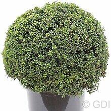 Kugelschnitt Löffel Ilex Dark Green 15-20cm -