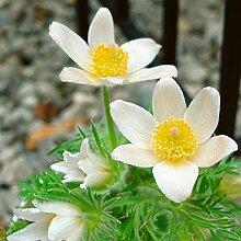 Kuhschelle - Pulsatilla vulgaris Alba - weiß blühende, glockenförmige Blüten - Kübelpflanze im 9 cm Topf - frisch aus der Gärtnerei - Pflanzen-Kölle Gartenstaude