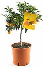 Kumquat mit Frucht Fortunella margarita Citrus