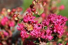Lagerstroemia 'Rose Fuchsia' - Kräftiger