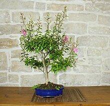 Lagerstroemia bonsai tree (11)