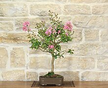 Lagerstroemia bonsai tree (15)