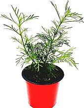 Lakritz Tagetes Tagetes filifolia Kräuter Pflanze