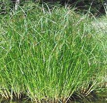 Langes Zyperngras / Cyperus longus im 9x9 cm Topf