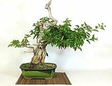 Lantana bonsai tree (3)