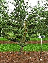 Larix kaempferi - NR. 4129