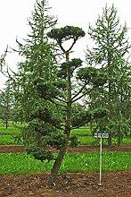 Larix kaempferi - NR. 4130
