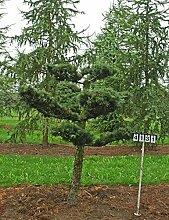 Larix kaempferi - NR. 4131