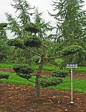 Larix kaempferi - Nr. 4951