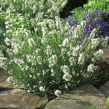 Lavendel 'Aromatica Silver' – Lavandula angustifolia - winterharte Pflanze im 3 Liter Container mit leuchtend silbrig-weißen Blüten als Busch - von Garten Schlüter - Pflanzen in Top Qualitä