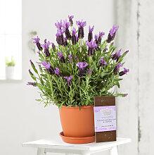 Lavendel im Übertopf in Terrakotta-Optik mit
