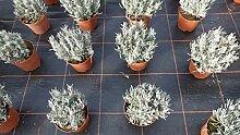 Lavendel Lavandula Angustifolia Kräuter Pflanze