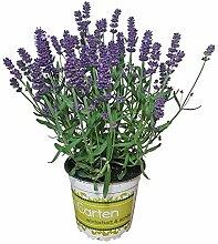 Lavendel - Lavendel-Pflanze im großen Topf in 1A