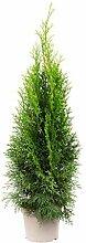 Lebensbaum 'Smaragd' C2 - Thuja