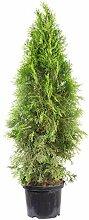 Lebensbaum 'Smaragd' C5 - Thuja