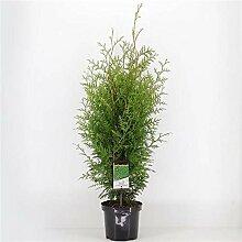Lebensbaum Brabant 120-140 cm 10 Liter Topf -