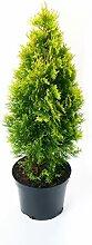 Lebensbaum Golden Smaragd® im Topf/Container