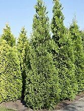 Lebensbaum King of Brabant   Ideal auch als Hecke