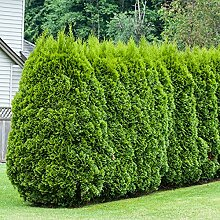 Lebensbaum Smaragd   Ideal auch als Hecke