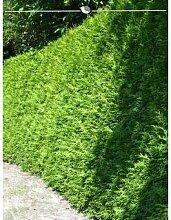 Lebensbaum Thuja Brabant 180-200 cm, 20x Heckenpflanze, inkl. Versand Garten