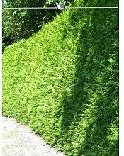 Lebensbaum Thuja Brabant 80-100 cm, 125x Heckenpflanze, inkl. Versand Garten