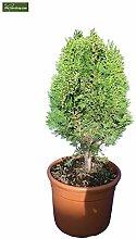 Lebensbaum - Thuja orientalis Aurea Nana - Größe