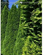 Lebensbaum Thuja Smaragd 100-120 cm, 50x Heckenpflanze, inkl. Versand