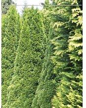 Lebensbaum Thuja Smaragd 160-180 cm, 10x Heckenpflanze, inkl. Versand