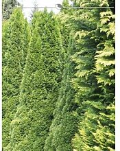 Lebensbaum Thuja Smaragd 160-180 cm, 15x Heckenpflanze, inkl. Versand