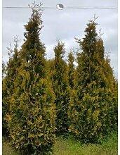 Lebensbaum Thuja Yellow Ribbon 180-200 cm EXTRA, 40x Heckenpflanze, inkl. Versand