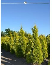 Lebensbaum Thuja Yellow Ribbon 200-225 cm, 28x