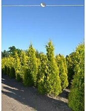Lebensbaum Thuja Yellow Ribbon 60-80 cm, 80x