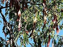 Lederhülsenbaum Gleditsia triacanthos Pflanze