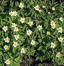 Leipziger Buschwindröschen - Anemone lipsiensis