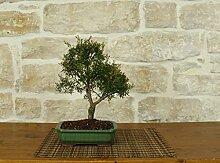 Leptospermum bonsai tree (5)