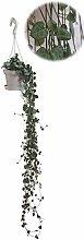 Leuchterblume, hängend, (Ceropegia woodii ssp.