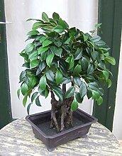 Licht & Grün Künstlicher Bonsai Ficus in Schale