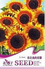 Licht Tag Sonnenblumenkerne - Krankheitsresistente