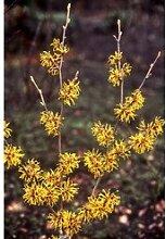 Lichtmeß-Zaubernuss gelb 1 Pflanze