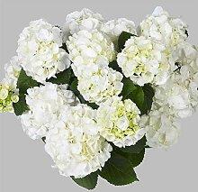 lichtnelke - Ball-Hortensie (Hydrangea