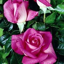 lichtnelke - Edelrose 'Lady Like' Pink