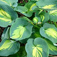 lichtnelke - Funkie (Hosta x cultorum) Dream Queen