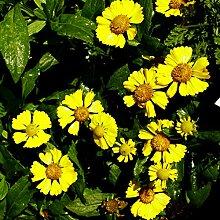 lichtnelke - Sonnenbraut (Helenium '