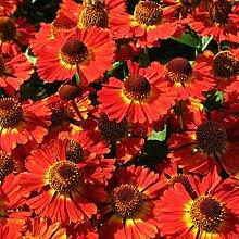 lichtnelke - Sonnenbraut (Helenium autumnale