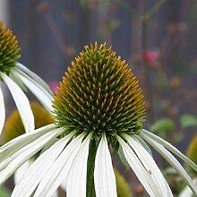 lichtnelke - Weißer Sonnenhut (Echinacea